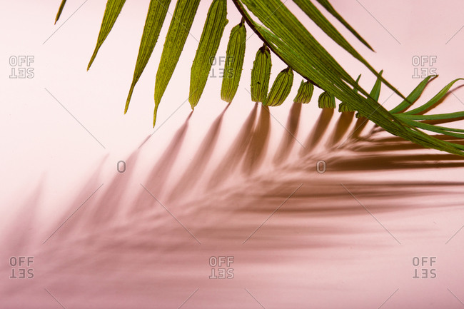 Green tropical palm tree leaf arranged over pink background representing summer holidays on sunny beach