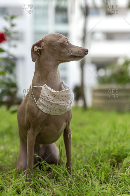 Pure breed Italian greyhound dog outdoors with protective mask for coronavirus. Covid-19.
