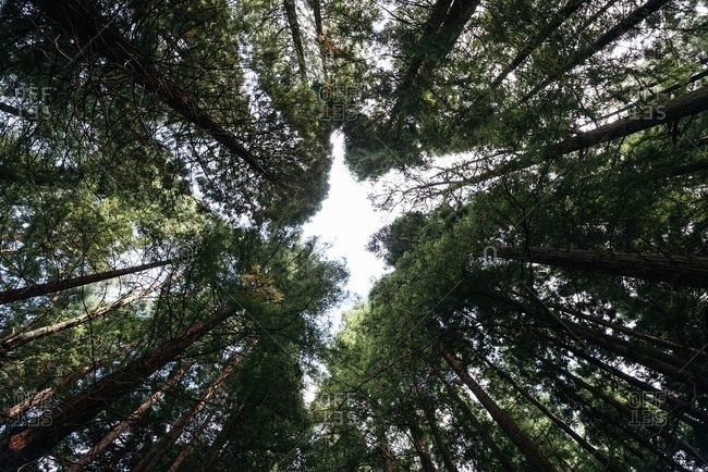 From below of high powerful pines trees with green crowns on an silence peaceful forest