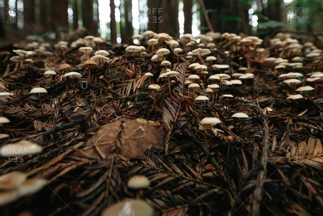 Ground level view of small mushrooms growing on dark brown dirt grass