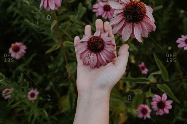 From above of crop female holding fresh purple coneflower while resting in garden in summer day