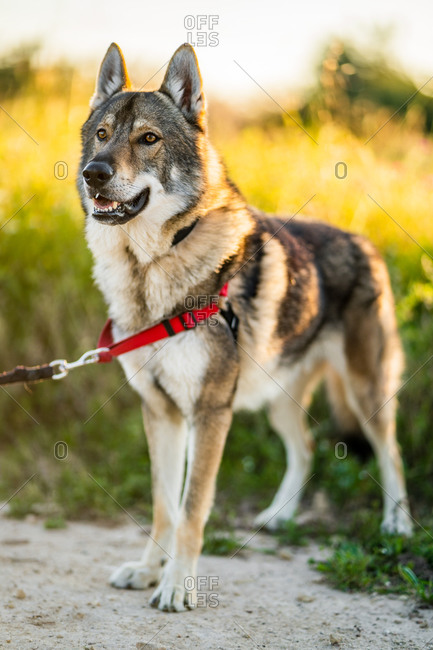 Adorable alert wolfdog with leash looking away while standing on green field in sunny summer day