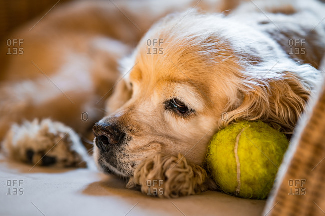Closeup of cute sad Cocker Spaniel puppy lying on chair with green tennis ball near muzzle