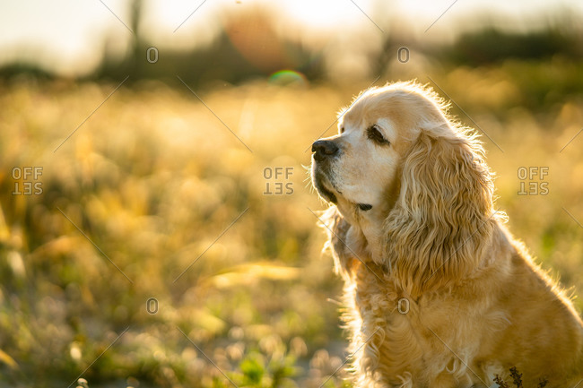 Adorable golden Cocker Spaniel puppy looking away and waiting for owner while sitting on meadow in sunny summer day in countryside