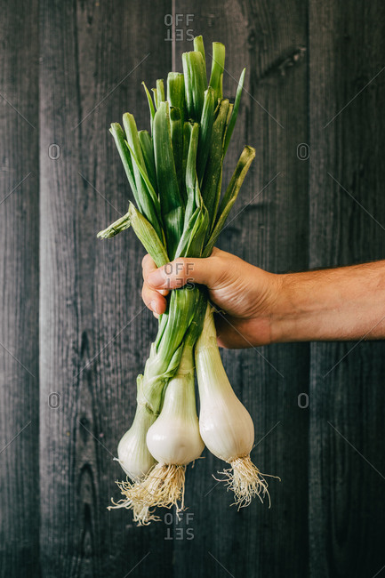 Unrecognizable person holding and showing a bunch of healthy fresh scallion against black lumber wall