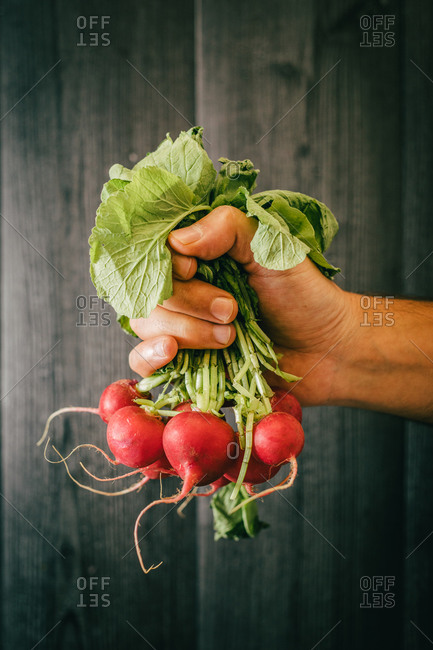 Unrecognizable person holding leaves and showing a bunch of healthy radish against black lumber wall