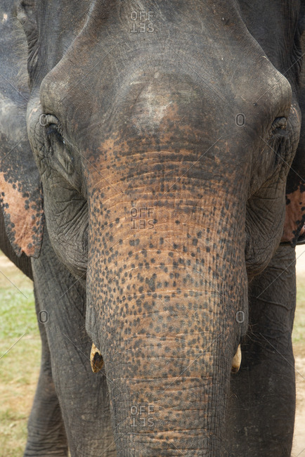 Close up of an Asian elephant in Laos