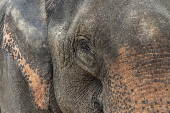 Close up of an Asian elephant's face in Laos