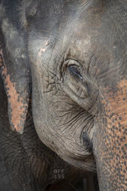 Close up of an Asian elephant's face