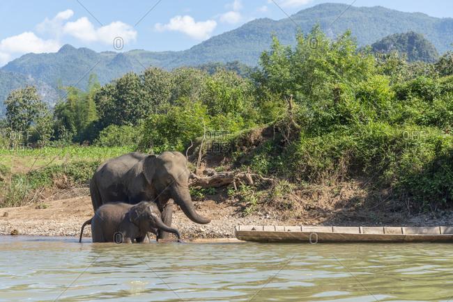 Elephants along the Nam Khan River's edge, Luang Prabang, Laos