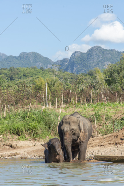 Mother and baby elephants along the Nam Khan River's edge, Luang Prabang, Laos