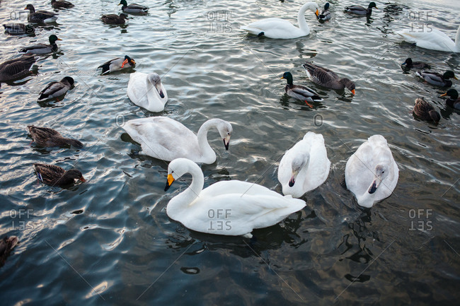 Swans and ducks swimming in a lake