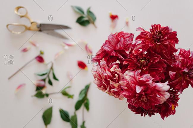 Pink dahlias being arranged in a vase