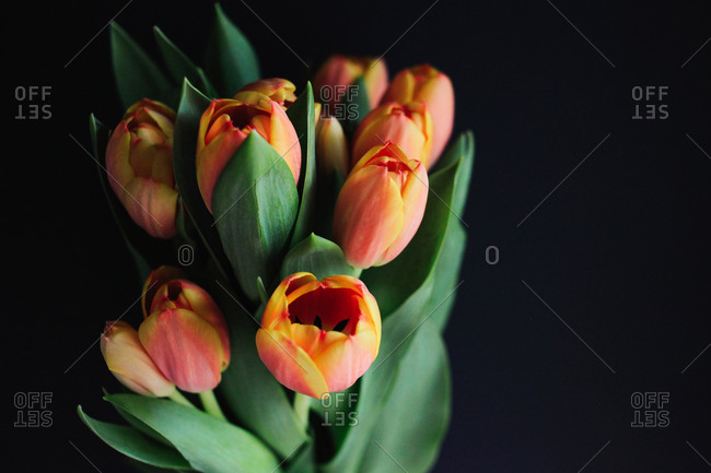 Close up of orange and yellow tulips on a black background