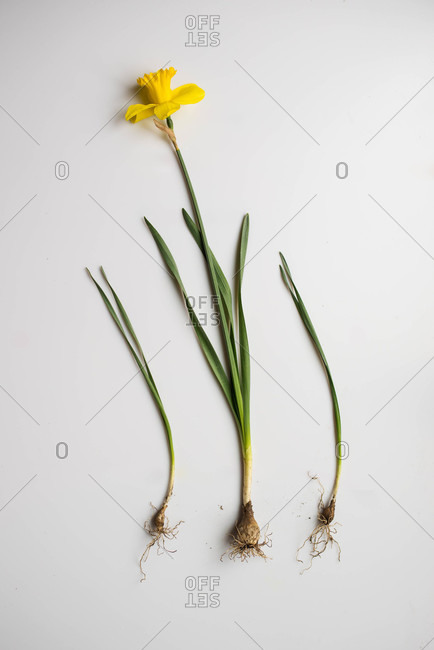 Yellow daffodil with roots exposed