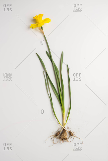 Yellow daffodil with roots exposed on white background