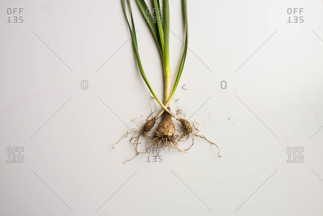 Close up of daffodil with roots exposed on white background