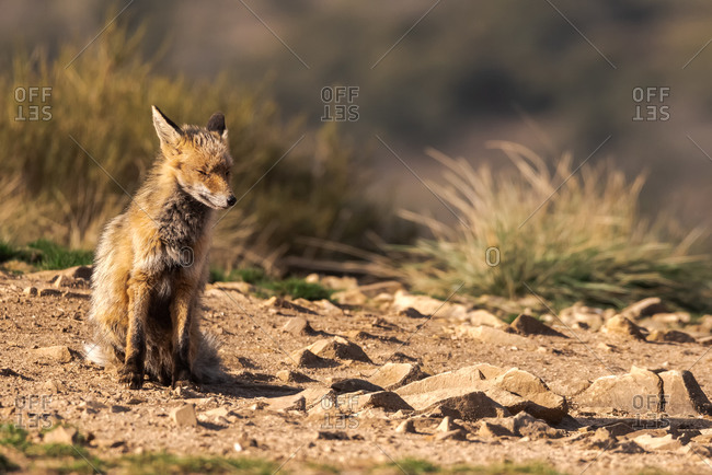 Lovely fox in the field