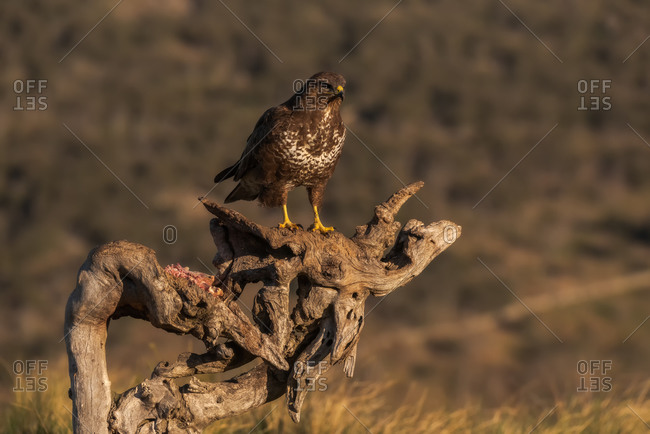 Common buzzard sitting on rough snag and waiting for prey on blurred background of grassland in nature