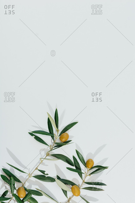 Top view of olive tree branch with green leaves and olives placed on white background