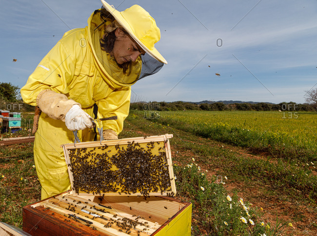 Female beekeeper in yellow protective costume taking honeycomb frame from hive while working in apiary in sunny summer day