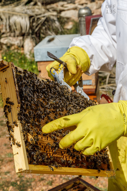 Crop unrecognizable professional beekeepers with smoker checking honeycomb with bees while working in apiary in summer day