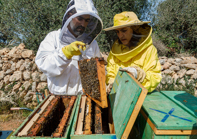 Professional male and female beekeepers inspecting honeycomb with bees while working in apiary in summer day