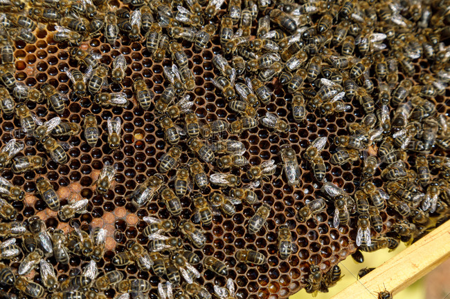 Closeup of honeycomb frame with bees during honey harvesting in apiary