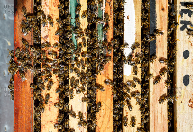 Closeup of honeycomb frame inside wooden box covered with bees during honey harvesting in apiary