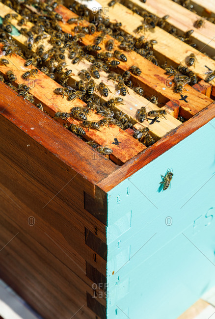 Honeycomb frame inside wooden box covered with bees during honey harvesting in apiary