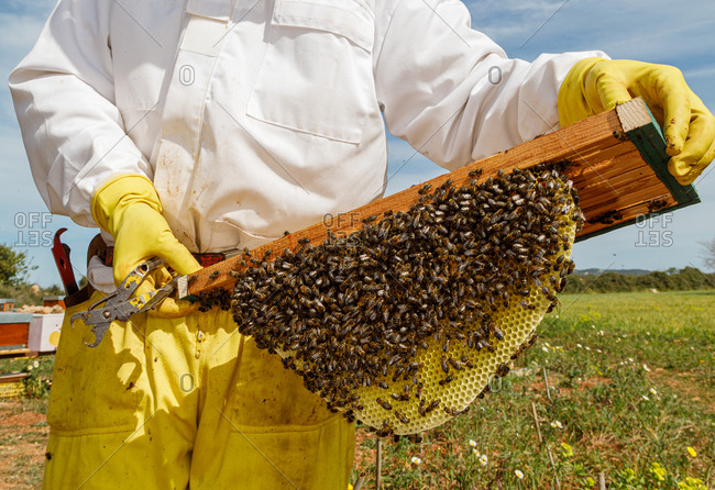 Unrecognizable male beekeeper in white protective work wear holding honeycomb with bees while collecting honey in apiary