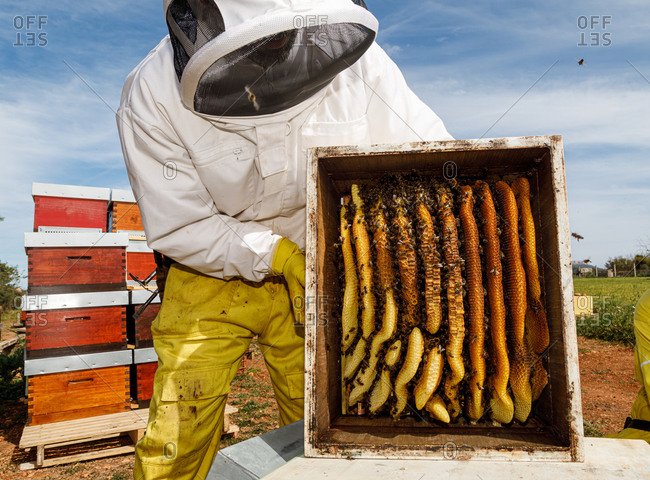 Male beekeeper in white protective work wear holding honeycomb with bees while collecting honey in apiary