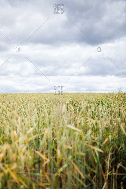 Endless plain agricultural field with green grass under overcast cloudy sky in countryside