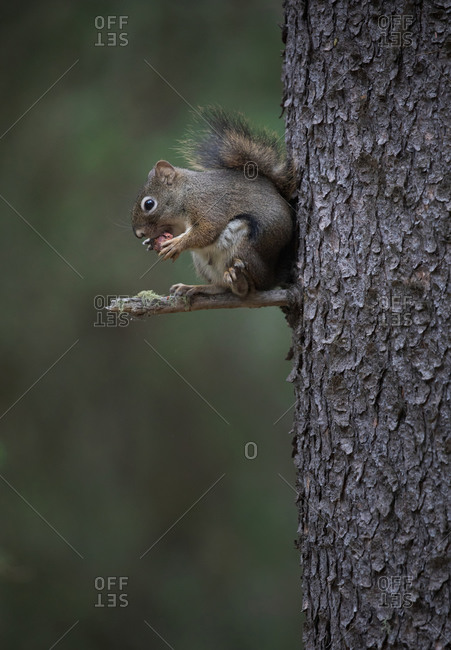 Adorable furry squirrel hanging from tree trunk in a forest eating acorn nut