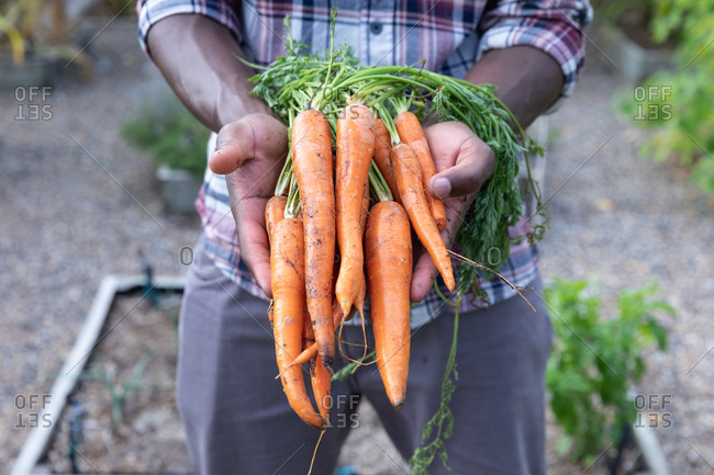 Mid section of an African American man social distancing at home during quarantine lockdown, standing in a garden and presenting fresh carrots.