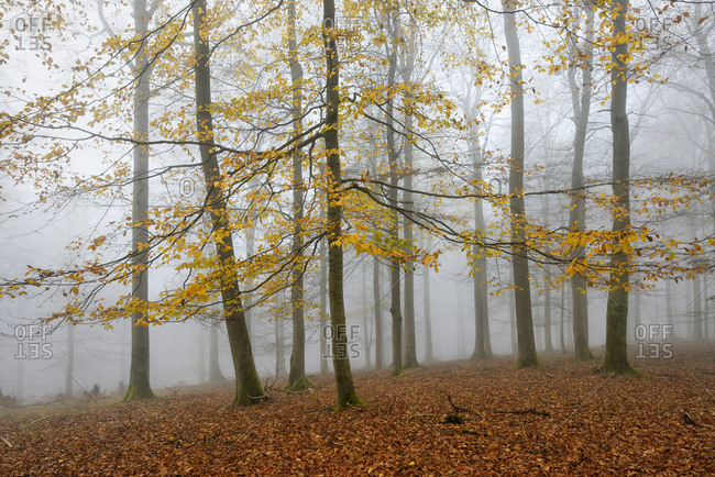 Beech forest with last yellow leaves in autumn, National Park in Kellerwald-Edersee, Hessen, Germany