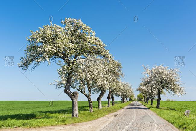 Avenue of flowering fruit trees, narrow cobbled country road, blue sky, Burgenlandkreis, Saxony-Anhalt, Germany