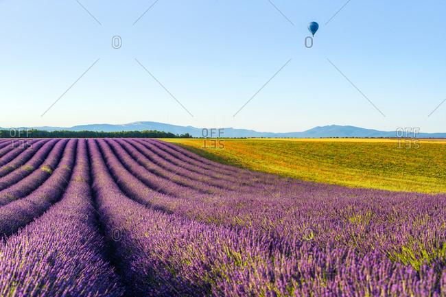 Lavender fields near Valensole in Southern France, Provence, France