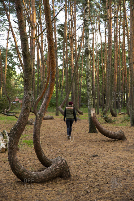 Ghost Forest in Poland (crooked forest)