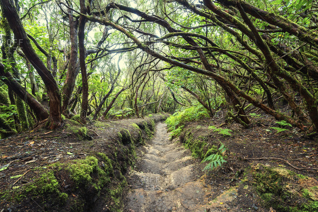 Hiking trail on Tenerife through enchanted laurel forest