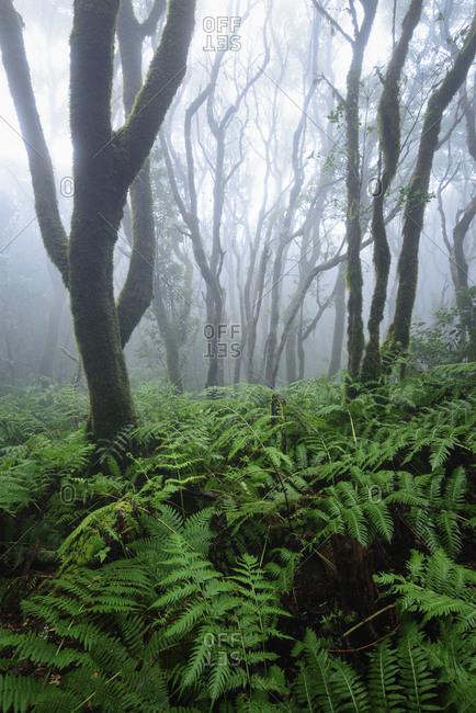 Laurel forest and ferns on Tenerife in the mist