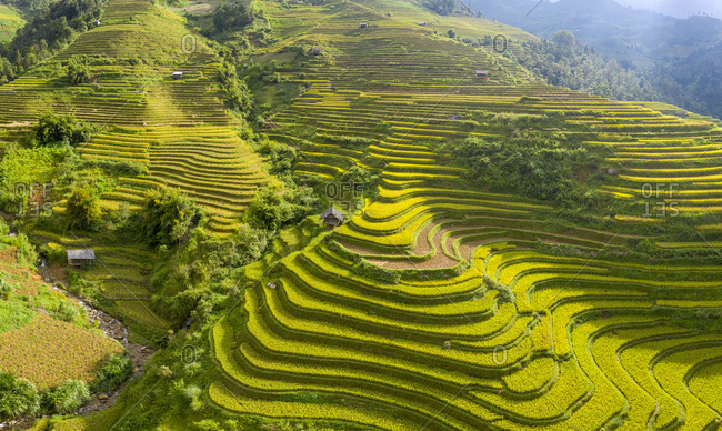 Golden rice terraces just before the harvest in North Vietnam, Mu Cang Chai, Vietnam