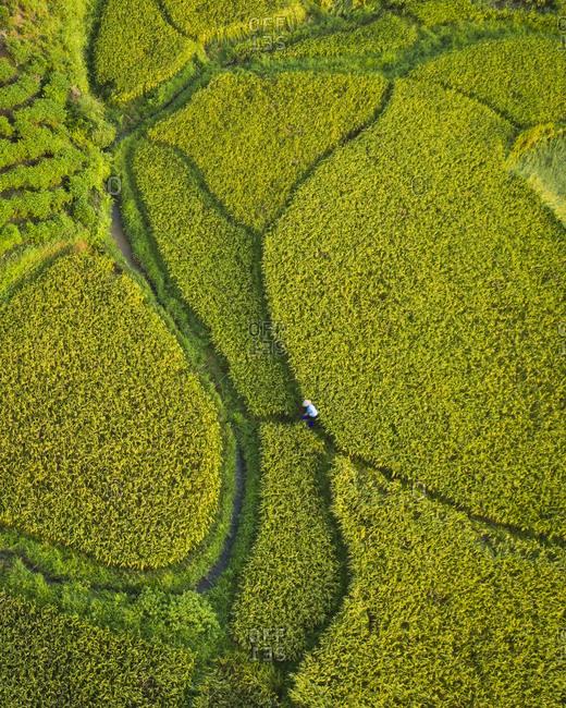 Rice fields near Hanoi, aerial view, Vietnam