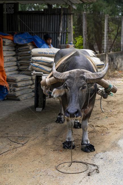 September 24, 2019: Lots of water buffalo in Vietnam