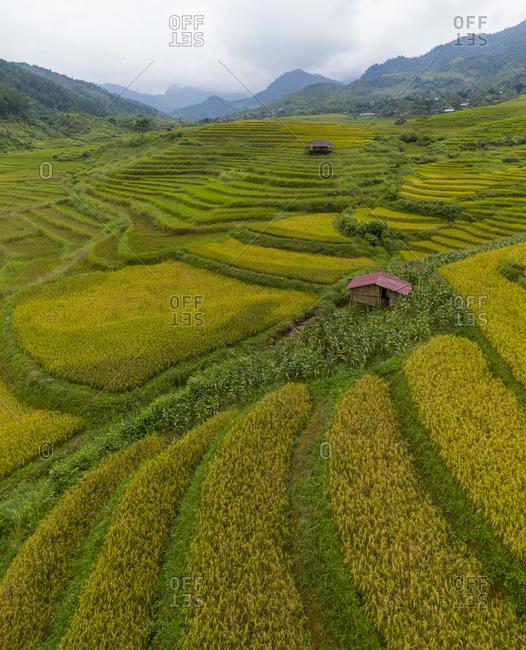 Golden rice fields in Vietnam
