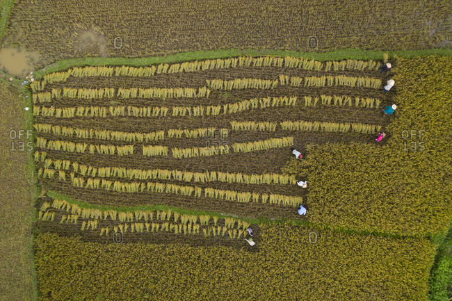 Large rice harvest in Vietnam