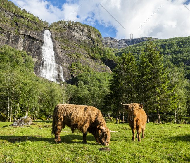 Famous attractions Highland cattle, Sogndal, Norway