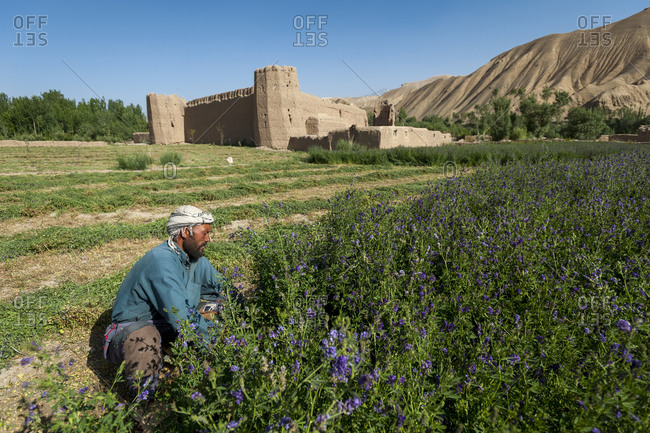 Bamyan, Afghanistan - June 20, 2011: A farmer cuts purple flowers which will be used as fodder