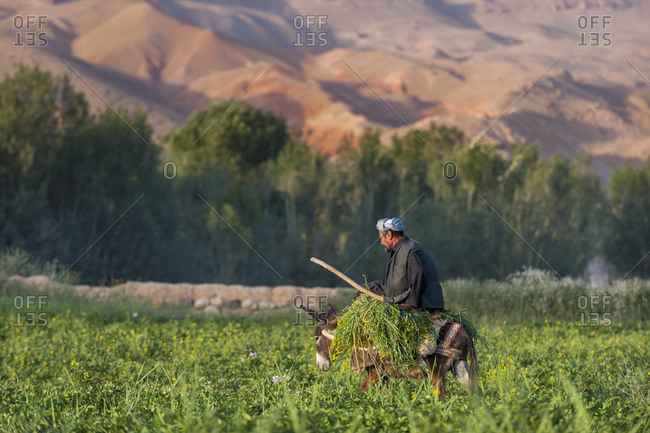 Bamyan, Afghanistan - June 24, 2011: A man carries fodder through fields using a donkey