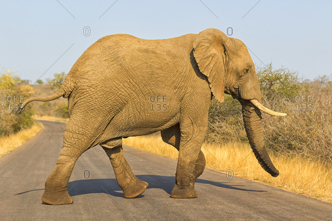 South Africa- African bush elephant (Loxodonta africana) walking across empty road in Kruger National Park